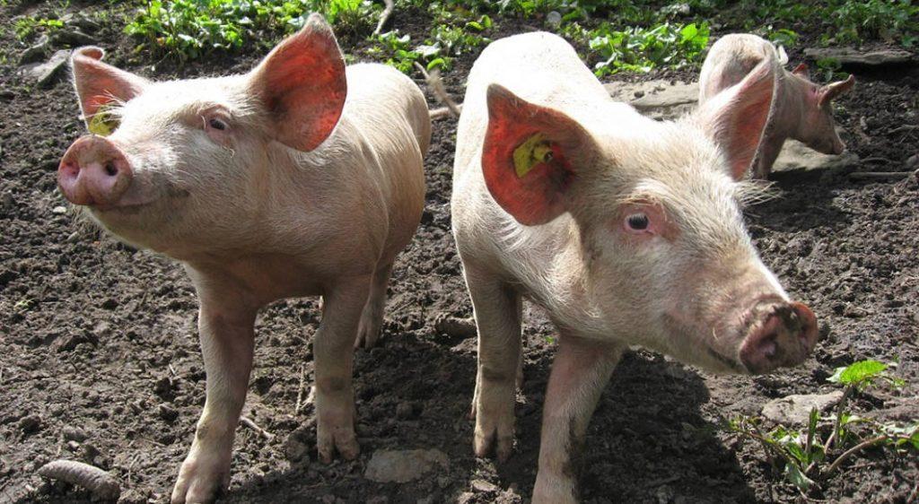 Excrementos de cerdo para asfaltar carreteras