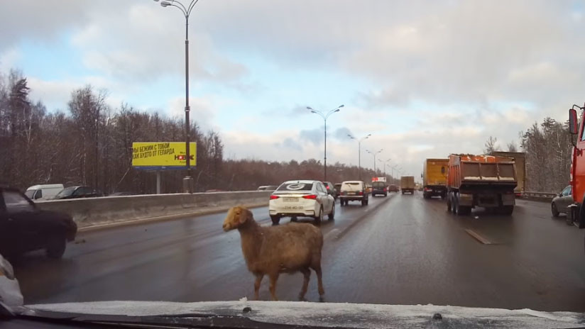 Una oveja provocó el caos en Moscú